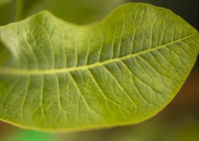 Planta de pistacho detalle