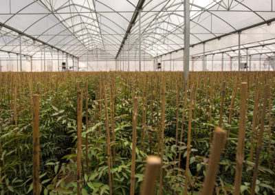 Vivero de planta de pistacho Acemi
