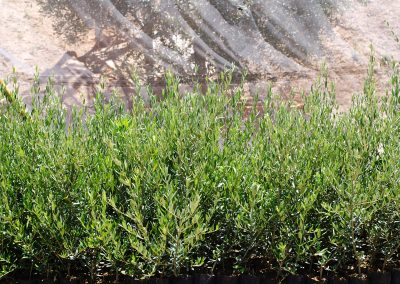 olivo-10