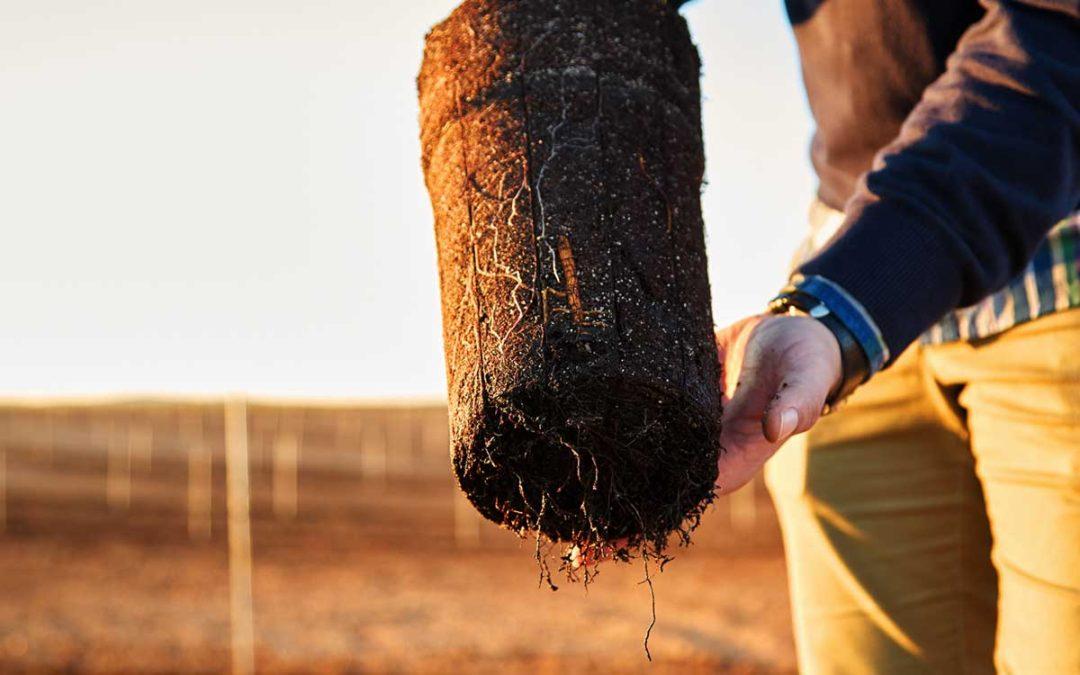 Recomendaciones para comprar planta de pistacho
