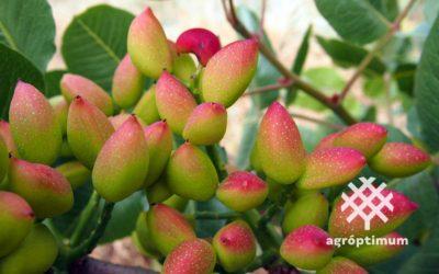 Variedad de pistacho hembra Sirora: características principales