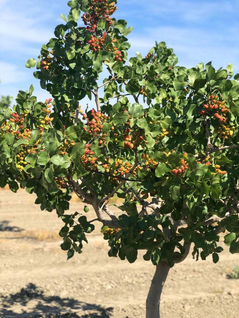pistachero con frutos