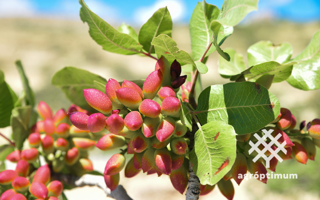 Cultivo de pistacho: aspectos principales a destacar