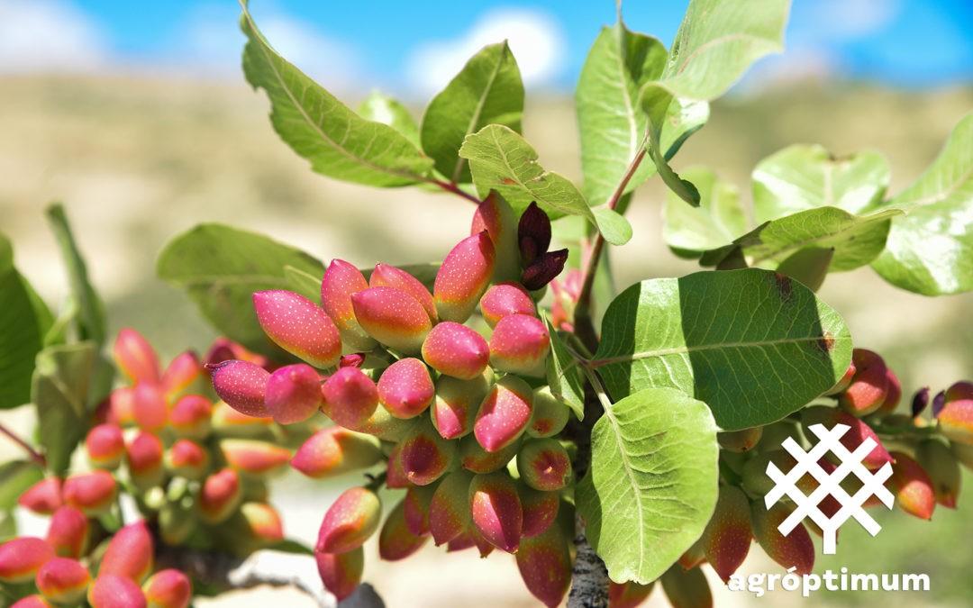 Requisitos para plantar pistacho