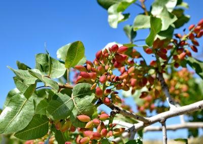 Arbol de pistacho
