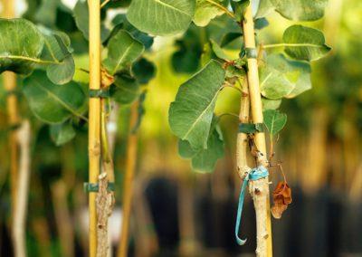 Planta de pistacho