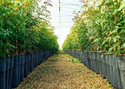 Plantas de pistacho en maceta