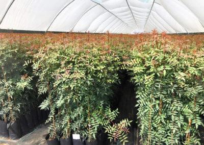 Plantas de pistacho en vivero