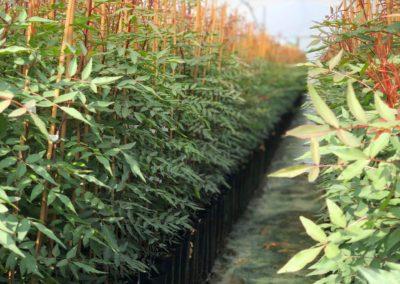 Proceso de cultivo del pistacho