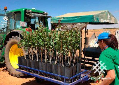 Proceso de plantación de pistacheros