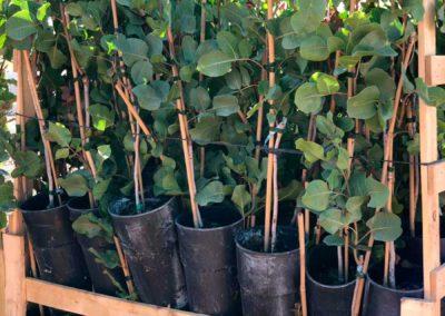 Proceso de plantación del pistacho