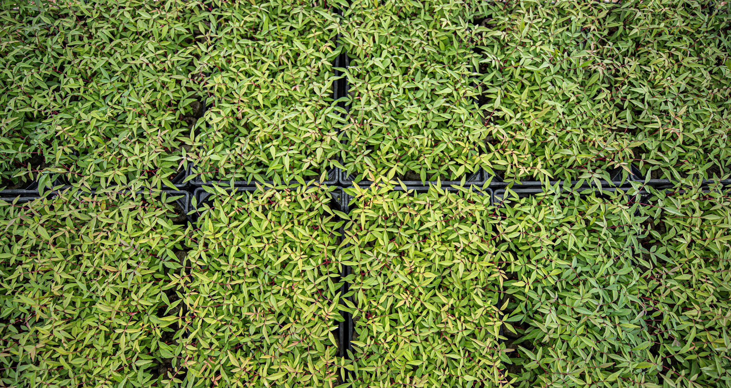 Vivero de pistacho Agroptimum