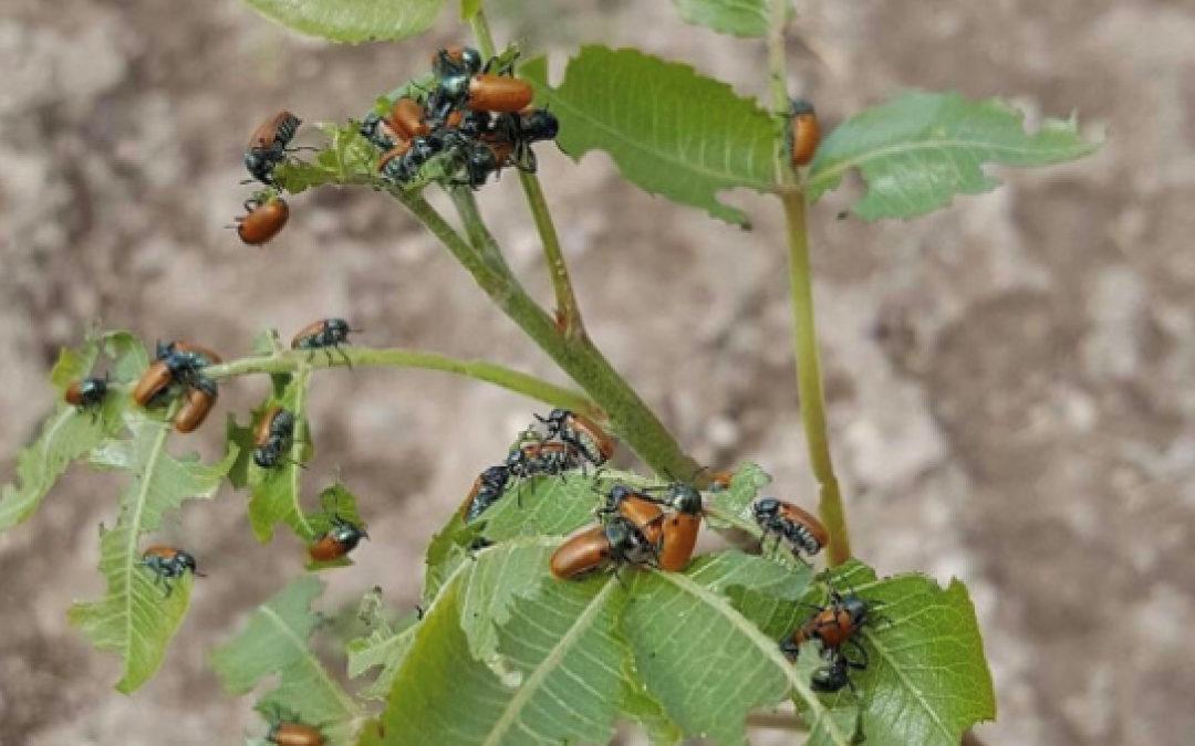 La clytra en el pistacho: cómo combatirla