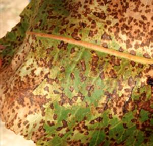hongo septoria pistacho
