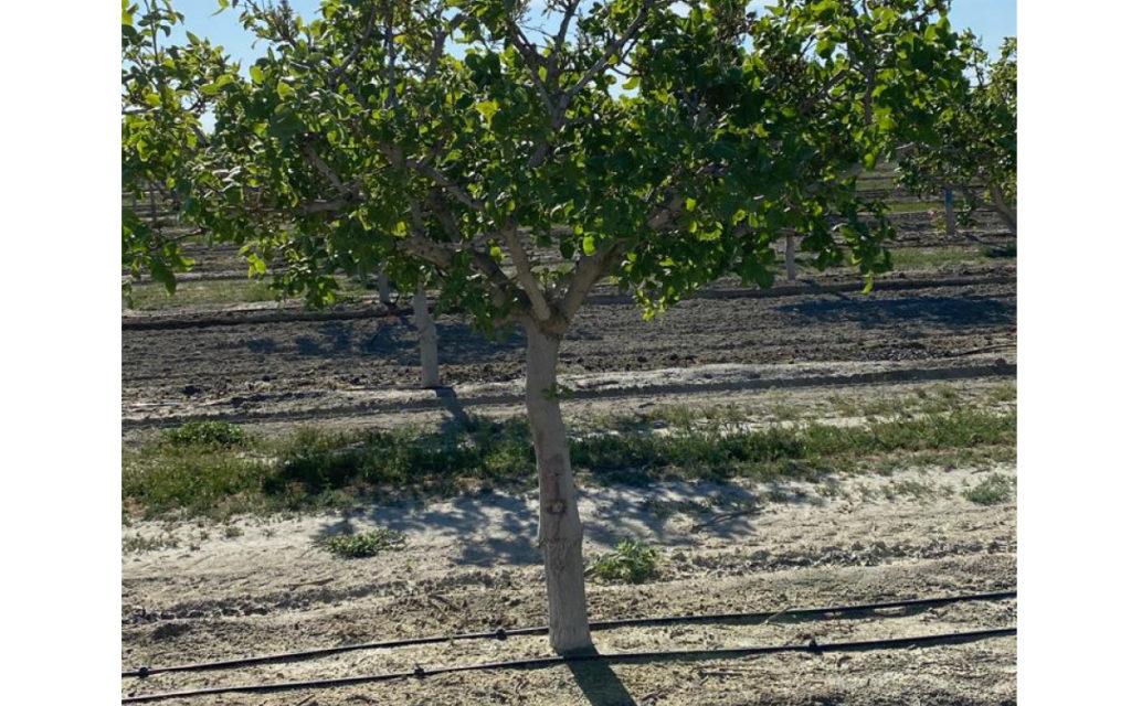 trabajos de primavera en el pistacho