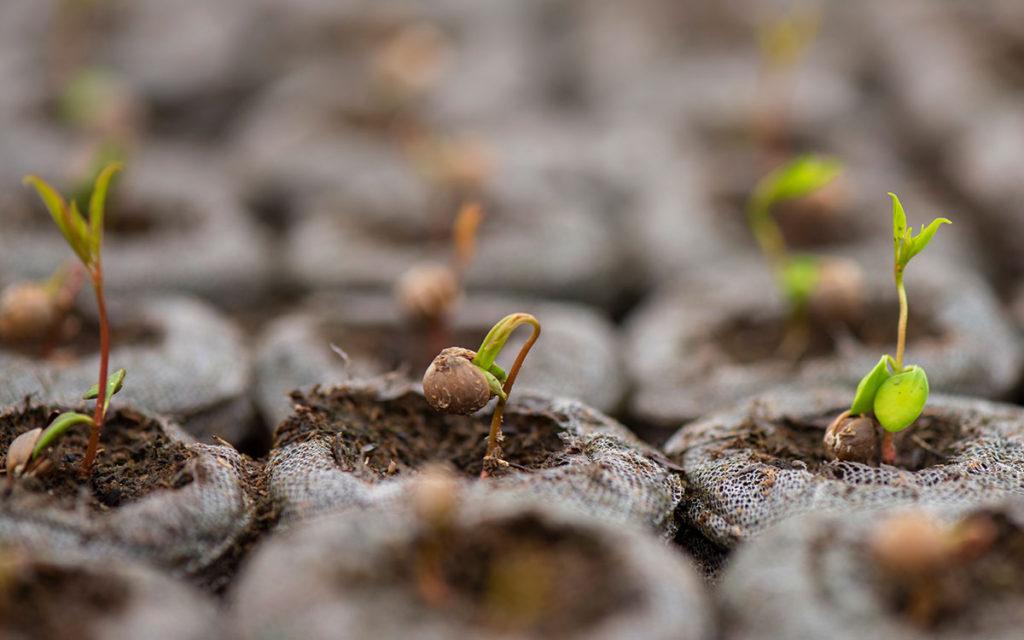 germinación-planta-pistacho-portainjerto