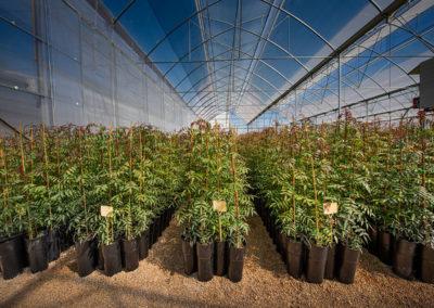 Planta de pistacho injertada Acemi Spain UCB1