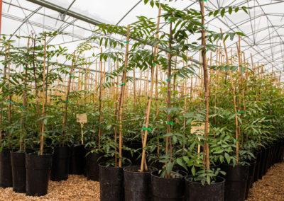 Planta de pistacho injertada UCB1