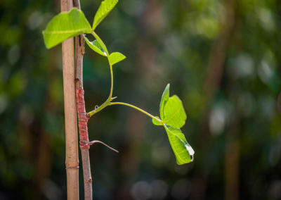 Planta de pistacho injertada brotada