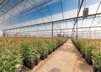 Planta de pistacho injertada Acemi Spain