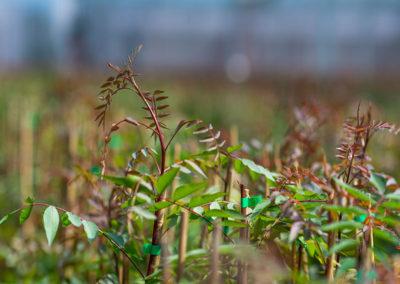 Planta de pistacho injertada vivero de pistachos UCB1
