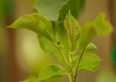 detalle hoja de pistacho injertado