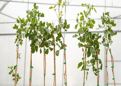 Plantas de pistacho injertadas