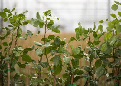 Planta de pistacho injertada 2
