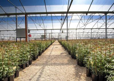 Plantas de pistacho pie UCB1