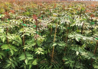 Plantas de pistacho UCB1